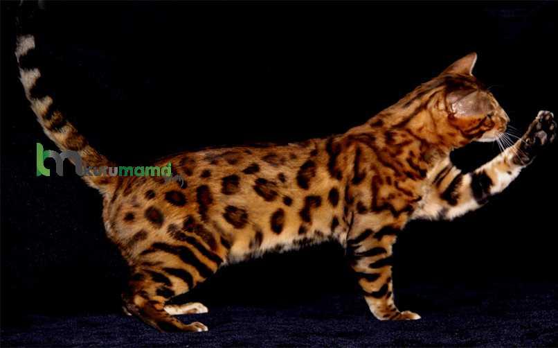 Toyger Kedisinin Çocuklar ve Evcil Hayvanlar İle İletişimi
