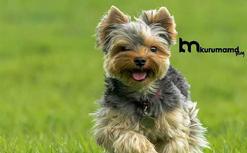 Yorkshire Terrier Köpek Bakımı Nasıl Yapılır?
