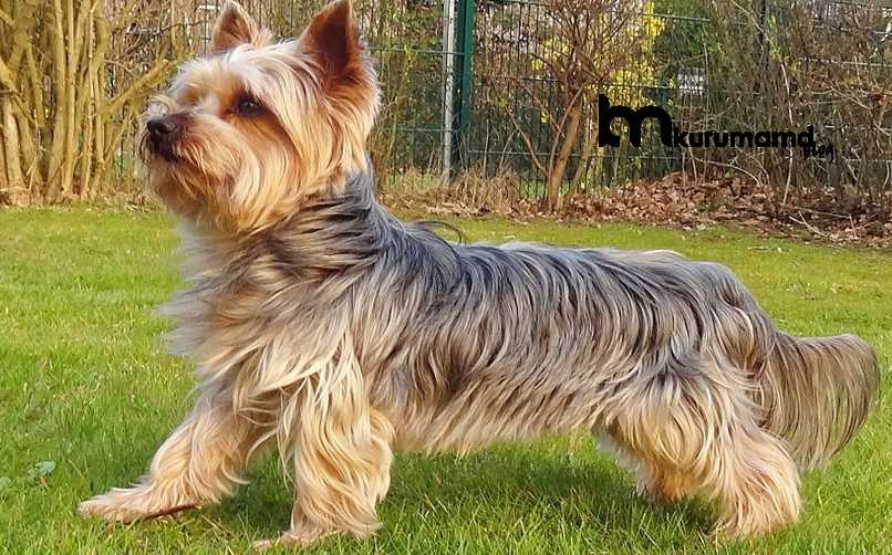 Yorkshire Terrier Fiziksel Özellikleri