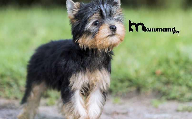 Yorkshire Terrier Köpeğinin Yatkın Olduğu Sağlık Sorunları