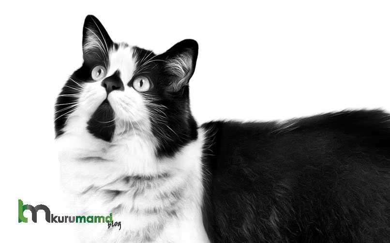 Cyrmric Kedisi Fiziksel Özellikleri