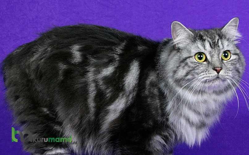 Cyrmric Kedisi Tüy Bakımı Nasıl Yapılır?