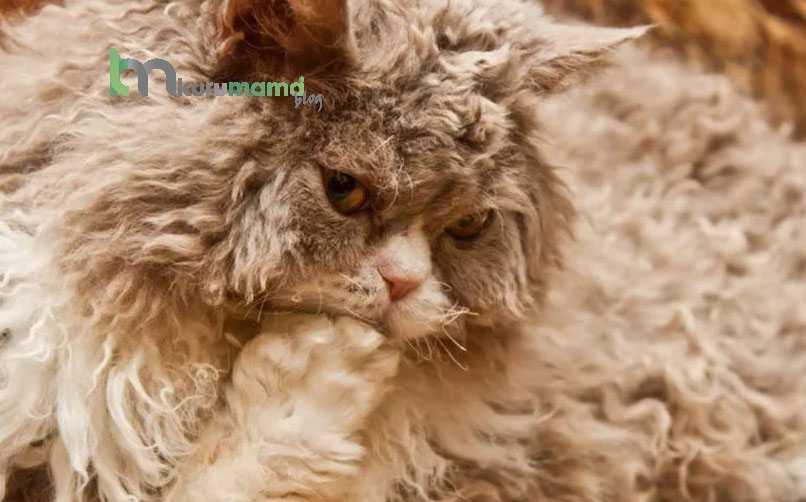 Laperm Kedisi İçin Beslenme Önerileri