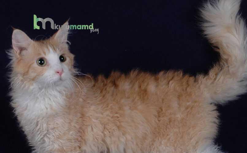 Laperm Kedisinin Kişilik Özellikleri