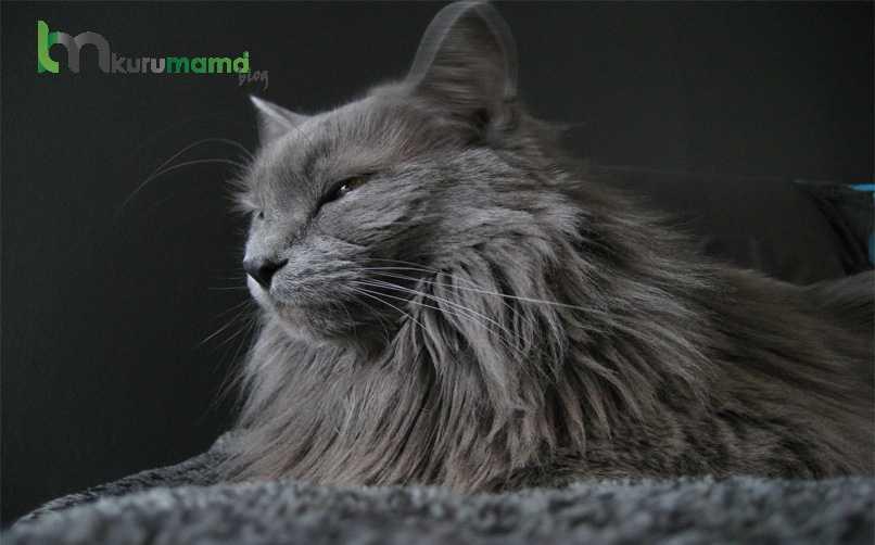 Nebelung Kedisi Genel Özellikleri
