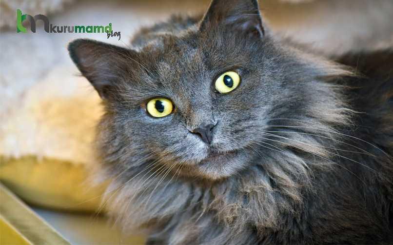Nebelung Kedisinin Kişilik Özelliği