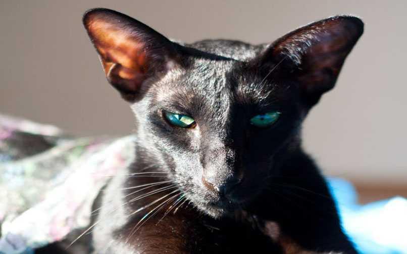 Oriental Shorthair Kedisi Beslenme Tavsiyeleri