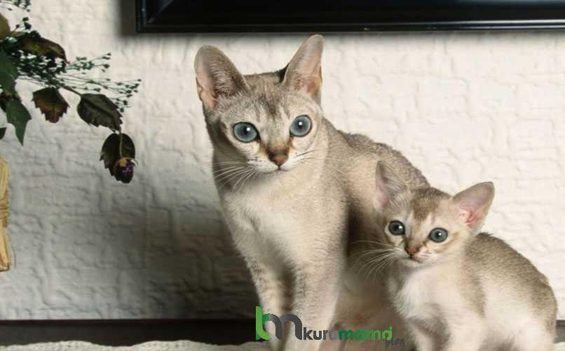 Singapura Kedisinin Çocuklar ve Diğer Hayvanlarla İletişimi
