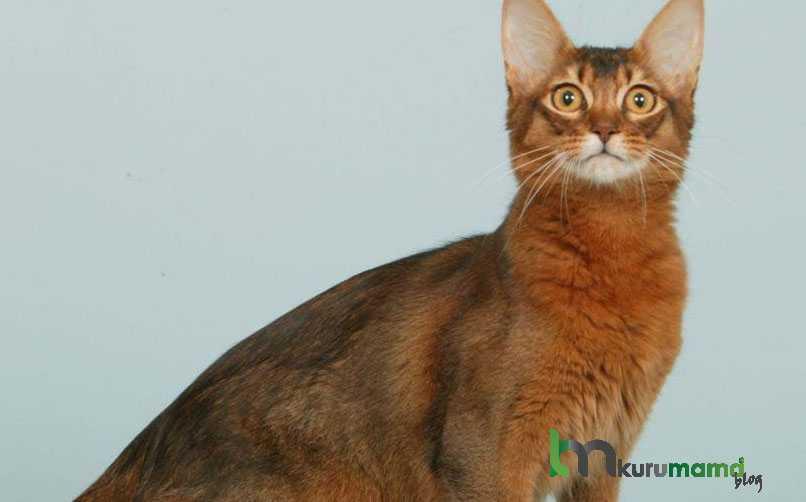 Somali Kedisi Beslenme Tavsiyeleri