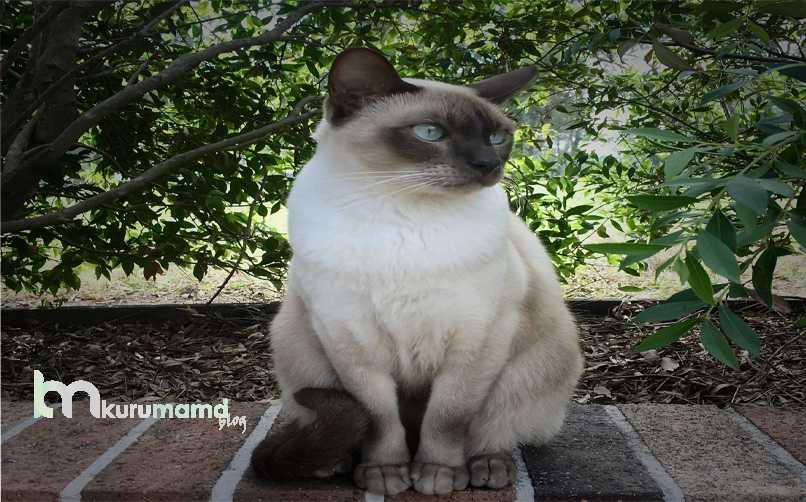 Tonkinese Kedisi Genel Özellikleri
