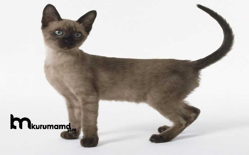 Tonkinese Kedisi Karakter Özellikleri