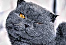 Kedilerde Göz Temizliği Nasıl Yapılır? Göz Nasıl Korunur?