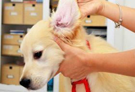 Köpeklerde Kulak Temizliği Nasıl Yapılır?
