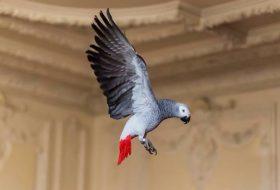 Afrika Gri Papağanı (Jako)