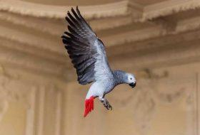 Afrika Gri Papağanı (Jako) Özellikleri ve Bakımı