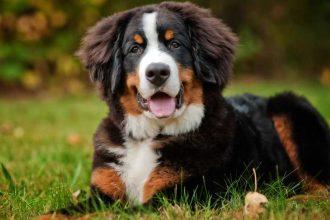 Appenzell dağ köpeği