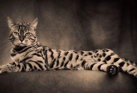 Bengal kedisi hakkında bilinmesi gerekenler