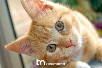 Böbrek Hastası Kediler İçin En İyi 5 Kedi Maması (2020)
