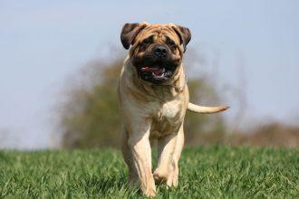 Bullmastiff köpeği