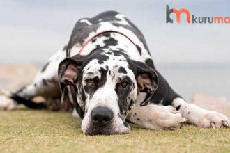 Büyük Köpek Irkları İçin EN İYİ 5 Yüksek Proteinli Köpek Maması