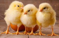 Civciv Yetiştirilirken Nelere Dikkat Edilmelidir? Nasıl Yetiştirilir?