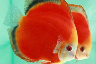 Discus Balığı