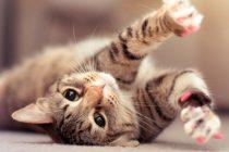 Dişi kedi kısırlaştırma