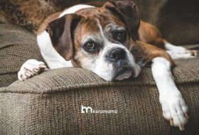 Eklem Ağrısı Yaşayan Yaşlı Köpekler İçin En Etkili 5 Köpek Maması