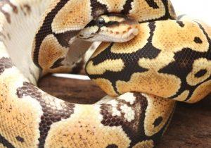 Evde yılan bakılabilir mi?