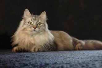 Fars Kedisi (İran Kedisi) Özellikleri ve Bakımı