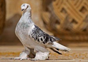 Güvercinler Yönlerini ve Yuvalarını Nasıl Bulur?