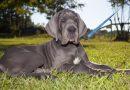 Great Dane (Danua) köpeği