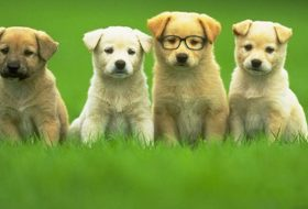 Hamile Köpeklerde Beslenme ve Bakım