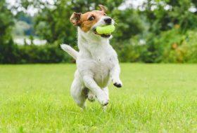 Hareketli Köpekler İçin Yetişkin Köpek Maması