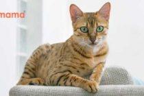 Uzun Tüylü Kediler İçin EN İYİSİ: İz Bırakmayan Kedi Kumu