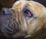 Köpeklerde Göz Sorunlarının Oluşma Nedenleri