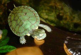 Kaplumbağa Bakımı Hakkında Bilinmesi Gerekenler