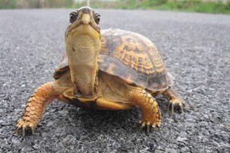 Kaplumbağaların Cinsiyeti Nasıl Anlaşılır?