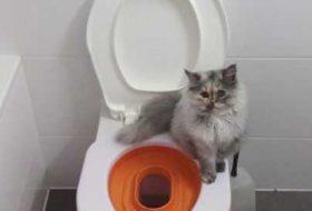 Kediler Klozete Tuvaletini Yapabilir Mi? Kedilere Klozet Eğitimi Nasıl Verilir?