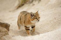 Kedi Kumu Türleri
