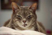 Kızgınlık Dönemindeki Kedileri Sakinleştirmek İçin 4 Etkili Yöntem