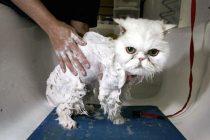 Kediler Nasıl Yıkanmalı? Dikkat Edilmesi Gerekenler