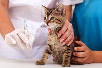 Kedilere Hangi Aşılar Yaptırılmalıdır? Karma Aşı