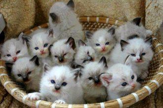 Kedilerde Evde Doğum Hazırlığı Nasıl Yapılmalı ?