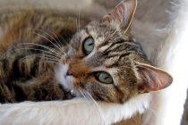 Kedilerde görülen kanser türleri nelerdir?