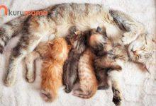 Kediler Ne Kadar Hamile Kalır ?