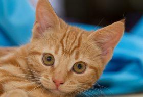 Kediler İç Kulak İltihabı Nedir? Nasıl Tedavi Edilir?