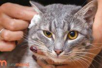 Kedilerde Kulak Temizliğinin Önemi: Kesinlikle Aksatmayın!