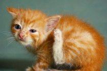 Kedilerde Kulak Uyuzu Nedir? Nasıl Tedavi Edilir?