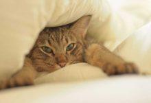Kedilerde Lösemi Nedir? Nasıl Korunur?